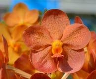 Bella orchidea arancio Fotografia Stock Libera da Diritti