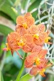 Bella orchidea arancio, Vanda variopinta Immagini Stock