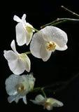 Bella orchidea bianca Fotografia Stock