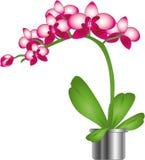 Bella orchidea dentellare fotografia stock