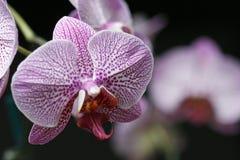Bella orchidea dentellare contro priorità bassa verde Immagini Stock