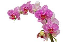 Bella orchidea dentellare isolata su bianco Fotografia Stock