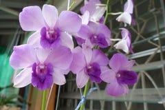 Bella orchidea di porpora del germoglio e del fiore fotografie stock libere da diritti