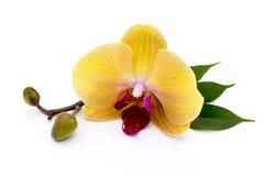 Bella orchidea gialla sui precedenti bianchi Fotografia Stock