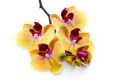 Bella orchidea gialla sui precedenti bianchi Fotografie Stock Libere da Diritti