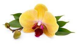 Bella orchidea gialla sui precedenti bianchi Fotografia Stock Libera da Diritti