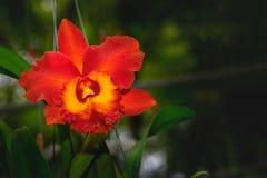 Bella orchidea ibrida rossa del fiore di Cattleya fotografia stock libera da diritti