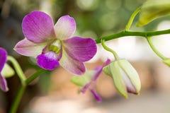 Bella orchidea Orchidaceae porpora di Sonia del Dendrobium Fotografia Stock