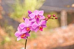 Bella orchidea - phalaenopsis Fotografie Stock Libere da Diritti