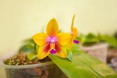 Bella orchidea rara in vaso su fondo vago fotografia stock libera da diritti