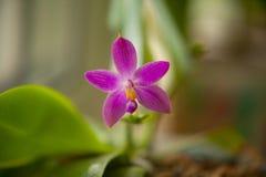 Bella orchidea rara in vaso su fondo vago fotografie stock libere da diritti