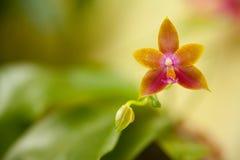 Bella orchidea rara in vaso su fondo vago immagine stock