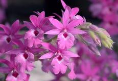 Bella orchidea rosa Fotografie Stock