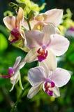 Bella orchidea rosa fotografie stock libere da diritti
