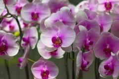 Bella orchidea rosa in giardino Fotografia Stock