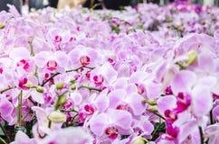 Bella orchidea rosa porpora - orchidea di phalaenopsis Immagini Stock