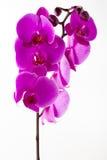 Bella orchidea rosa sui precedenti bianchi Fotografie Stock