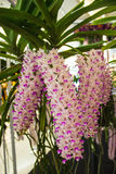 Bella orchidea rosa, Tailandia Immagine Stock