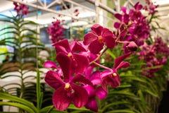 Bella orchidea rosa, Tailandia Fotografia Stock