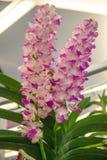 Bella orchidea rosa, Tailandia Immagini Stock Libere da Diritti