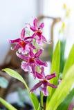 Bella orchidea su un giardino della casa su un bianco Immagini Stock
