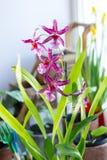 Bella orchidea su un giardino della casa su un bianco Fotografia Stock