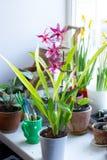 Bella orchidea su un giardino della casa su un bianco Immagine Stock