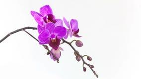 Bella orchidea in vaso su fondo neutrale stock footage