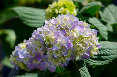 Bella ortensia di fioritura Fotografia Stock Libera da Diritti