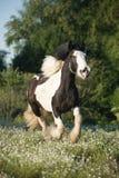 Bella pannocchia irlandese (cavallo dello stagnaio) con la criniera lunga che cammina liberamente i Immagini Stock