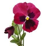Bella pansé rossa del fiore con un germoglio isolato Immagini Stock Libere da Diritti