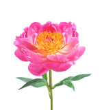 Bella peonia rosa isolata su bianco Immagine Stock Libera da Diritti
