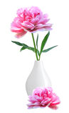 Bella peonia rosa in vaso bianco isolato su bianco Fotografia Stock