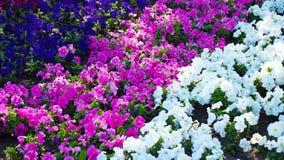 Bella petunia variopinta fotografia stock