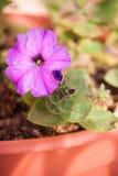 Bella petunia viola coltivata in vaso sul terrazzo, fiore domestico del giardino Immagini Stock