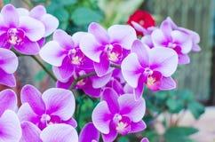Bella phalaenopsis porpora dell'orchidea Immagine Stock Libera da Diritti