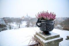Bella pianta che sopravvive all'inverno rigido di Stoccolma, Svezia fotografie stock