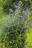 Bella pianta con i fiori sferici Fotografie Stock