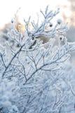 Bella pianta congelata di inverno Immagine Stock