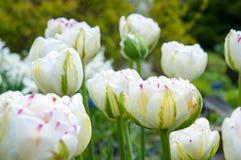 Bella pianta del fiore di estate Fotografia Stock