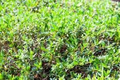 Bella pianta del fiore di estate Immagini Stock Libere da Diritti