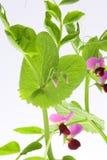 Bella pianta del pisello Fotografia Stock