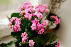Bella pianta della casa di Kalanchoe con i fiori rosa adorabili su w immagini stock libere da diritti