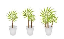 Bella pianta della dracaena in vaso di fiore tre Fotografia Stock Libera da Diritti