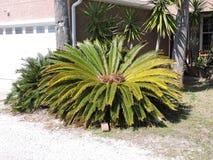Bella pianta della palma Immagini Stock