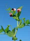 Bella pianta di pisello Immagini Stock Libere da Diritti
