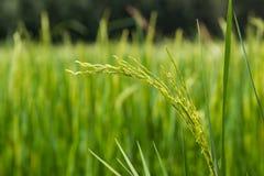 Bella pianta di riso verde nel giacimento del riso, Tailandia Immagini Stock Libere da Diritti