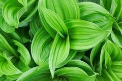 Bella pianta verde Fotografia Stock