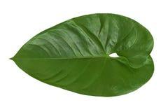 Bella pianta verde isolata della foglia del Philodendron su un fondo bianco Fotografia Stock Libera da Diritti