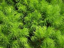 Bella pianta verde in parco, Lituania Immagine Stock